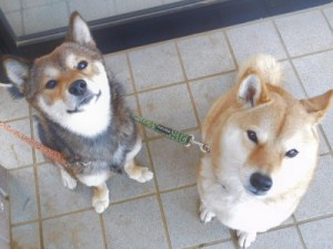 けんじ歯科医院の2匹の看板犬(エヴァとアスカ)